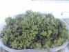 Delosperma vinaceum